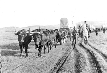 Early-day photo of one of the many oxen teams that transported tons of goods north to Southern Alberta. Whenever the ground became too rutted, the teams moved over and made a new trail. Photo from the Fort Benton Overholser Archives.